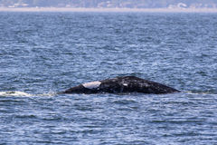 Remende Gray Whale Surfacing Imagens de Stock