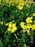 Remendo amarelo da flor da mola no sol 4k Foto de Stock