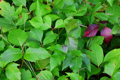 Remendo das folhas do toxidendro Imagens de Stock Royalty Free