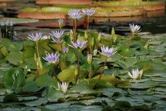 Remendo de lírios de água lilás na lagoa - Nmyhaea Nouchali fotografia de stock royalty free