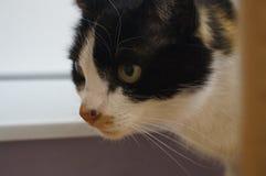 Remendo do gato Fotos de Stock