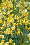 Remendo dos narcisos amarelos Fotografia de Stock Royalty Free