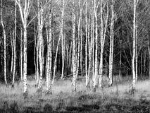 Remendo zoomlevel 4 do preto das árvores de vidoeiro/o branco imagens de stock