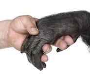 remet le singe de jointure humain Photo stock