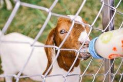 Remettez alimenter une chèvre de bébé avec la bouteille dans un événement local de Kanchanaburi, Thaïlande Image libre de droits