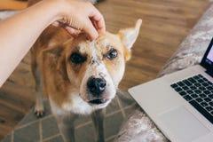 Remettez choyer le chien mignon sur le lit proche principal avec l'ordinateur portable dans le RO élégant image stock