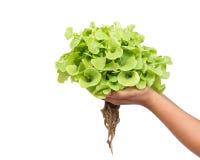 Remettez juger la laitue verte de chêne d'isolement sur le blanc photos stock