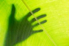 Remettez l'ombre sur le fond vert de texture de feuille de banane Photos libres de droits