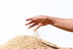 Remettez le riz non-décortiqué de prise sur le fond blanc Photo stock