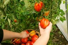 Remettez les tomates de cueillette de l'usine en serre chaude Image libre de droits