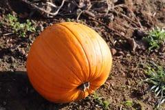 Remiendo de la calabaza en tierra de cultivo tallas de Halloween de la diversión de la familia imágenes de archivo libres de regalías