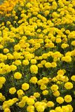 Remiendo de la flor de maravillas amarillas Imágenes de archivo libres de regalías
