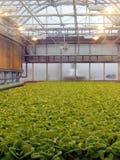Remiendo de la lechuga de la granja del tejado Imagen de archivo