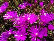 Remiendo púrpura cercano ascendente hermoso 4k de la flor Imágenes de archivo libres de regalías