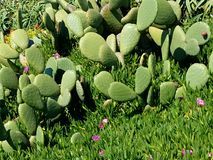 Remiendo verde del cactus con las flores 4k Fotografía de archivo