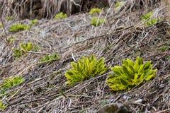 Remiendos de la vegetación melenuda única de la hoja en las montañas estériles de la mucha altitud en Nepal Imagenes de archivo