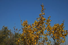 REMNANT OF AUTUMN LEAVES. View of tree with yellow leaves against a blue sky Royalty Free Stock Photography