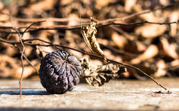 Remnant. A dried  out fruit , afternoon light Royalty Free Stock Images