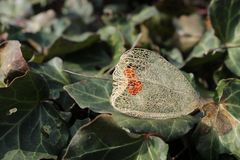 Remnant of fruit of Chinese lantern. Close photo of a sear remnant of fruit of Chinese lantern on the leaves of ivy Stock Images