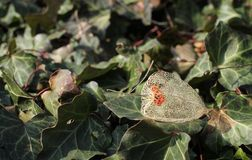 Remnant of fruit of Chinese lantern. Close photo of a sear remnant of fruit of Chinese lantern on the leaves of ivy Royalty Free Stock Photo