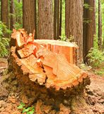 Remnant of a Logged Redwood Royalty Free Stock Photography