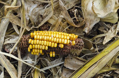 Remnants of a corncob at a harvested corn field Royalty Free Stock Photos