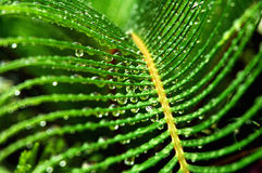 Remnants of the storm 2. Raindrops hang onto the leaves between showers.  Cycas revoluta new leaves.  Sago Palm Royalty Free Stock Photos