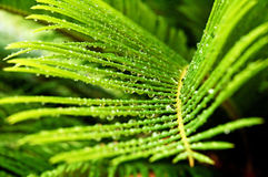 Remnants of the storm. Drops of water hang off the leaves of the Cycas revoluta new leaves in between storms Stock Image