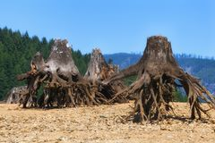 Remnants of trees along shoreline Royalty Free Stock Photography