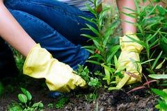 Remoção de ervas daninhas Fotografia de Stock