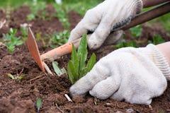 Remoção de ervas daninhas no jardim vegetal Foto de Stock Royalty Free
