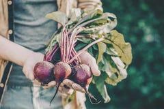 Remolachas sabrosas frescas de Adult Man Holding del granjero en el tono de la mañana del jardín imagen de archivo