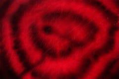 Remolachas - un diamante rojo de nuestras cocinas fotos de archivo