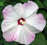 Remolino del color de rosa del hibisco Imagen de archivo libre de regalías