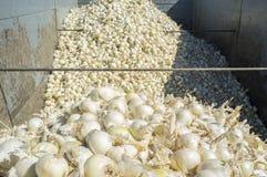 Remolque con las cebollas blancas en el tiempo de cosecha Foto de archivo