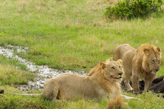 Remolque los leones masculinos que cazan abajo de un viejo varón del búfalo en el parque nacional de Mara del Masai en Keny Foto de archivo libre de regalías