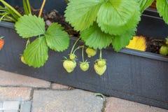 Remontant jordgubbe i balkongaskarna Evig jordgubbe arkivbild