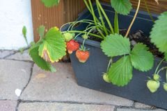 Remontant strawberry in the balcony boxes. Perpetual strawberry.  stock photos