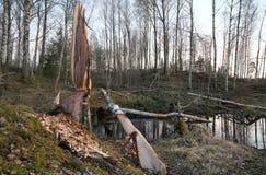 Remonte después del castor, daño en abedul con el árbol caido Imagen de archivo