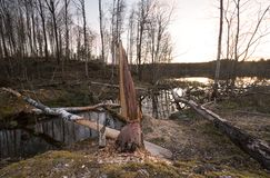 Remonte después del castor, daño en el abedul con los árboles caidos, lago en el fondo Imágenes de archivo libres de regalías