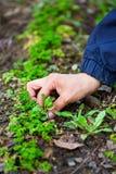 Remoção de ervas daninhas da mão da mulher através da salsa Fotos de Stock Royalty Free