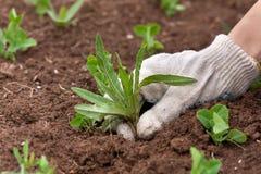 Remoção de ervas daninhas da mão no jardim vegetal Fotos de Stock Royalty Free
