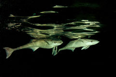 Remora fish. A remora, sometimes called a suckerfish, can grow to 30–90 centimetres long. their distinctive first dorsal fin takes the form of a modified stock photos