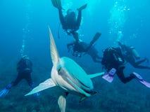 Remora fish and divers at Cayo Largo royalty free stock photos