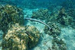 Remora fish live sharksucker Echeneis naucrates Stock Image