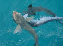 Remora fish. Called also suckerfish in cristal clear water of Caribbean sea- Exuma. Shroud Cay. Bahamas stock image