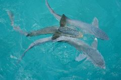 Remora fish. Called also suckerfish in cristal clear water of Caribbean sea- Exuma. Shroud Cay. Bahamas royalty free stock photos