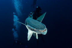 Remora Portrait. A remora shows of its flat ridged head that it uses to attach itself to large pelagic animals like sharks stock photography