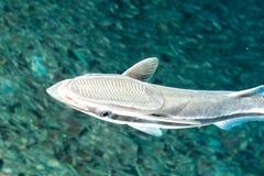 Remora suckerfish on black background. Isolated remora suckerfish on black background royalty free stock photography