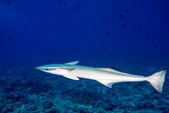 Remora suckerfish in blue ocean of polynesia. Remora suckerfish in blue ocean of french polynesia royalty free stock images